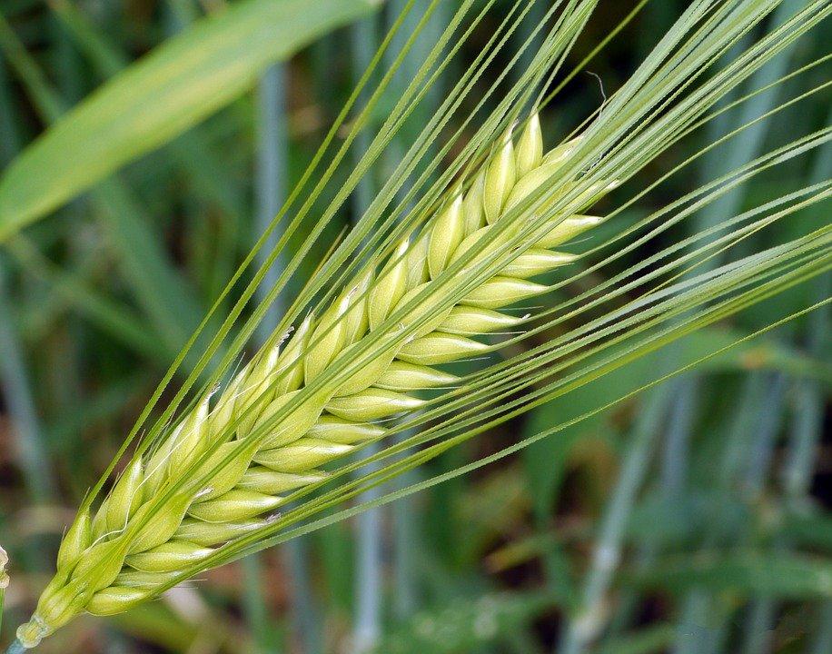 Getreideähre mit Grannen vom Kornende her. Foto: Pixabay