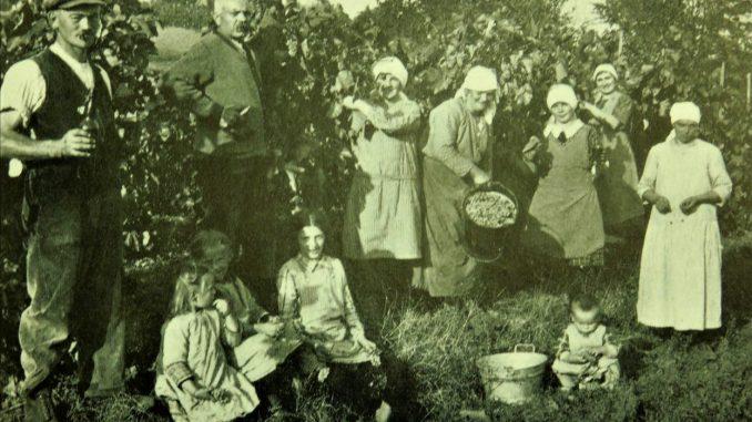 Weinernte Zeutern um 1930. Foto: Eugen Hollerbach